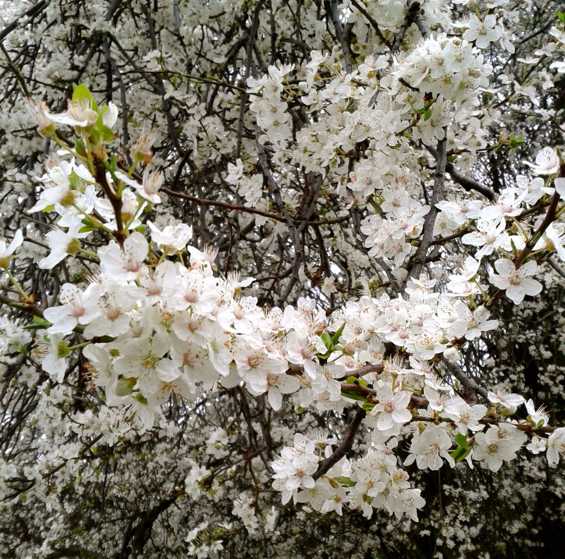 spring blossoms a-blossoming