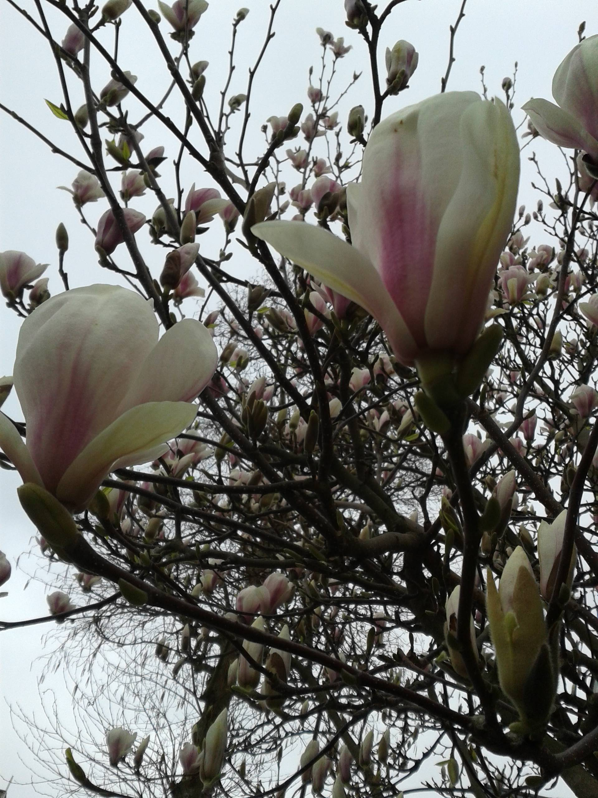 magnolia - my favourite