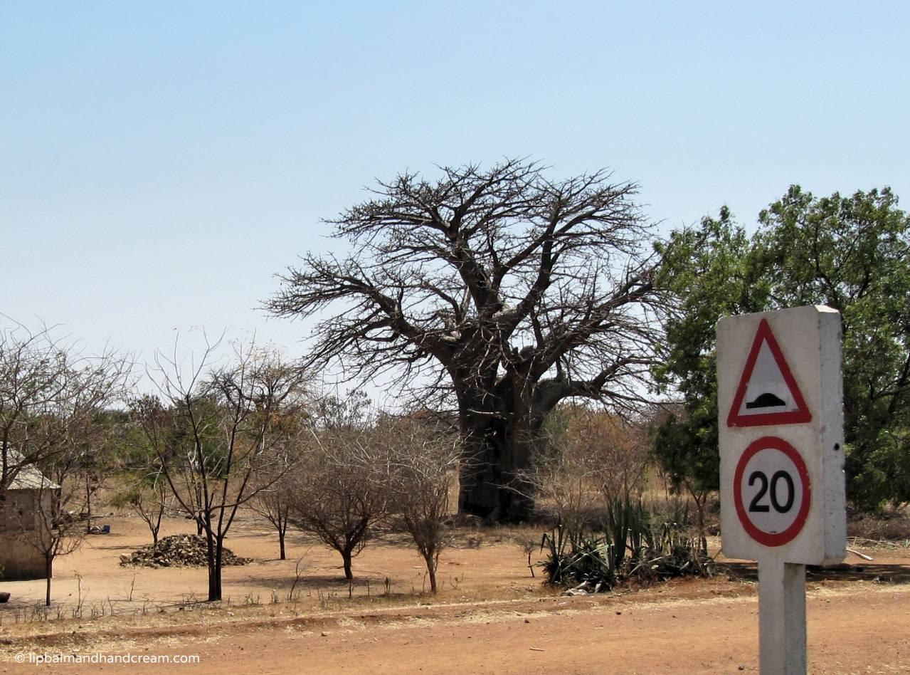 Baobab tree seen on bus from Mwanza to Dudoma, Uganda on my trip in 2010