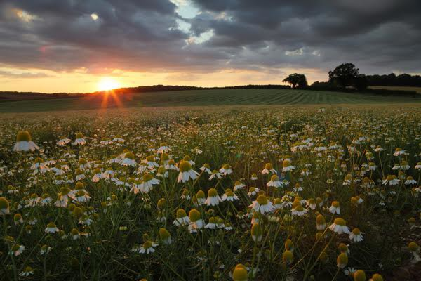© Rob Arnold. 07/08/2014. Hampshire, UK. Sunset over the camomile fields on the Malshanger estate. The farm grows Black Mitcham peppermint, lavender and camomile as their 'aromatic' crop, along with the staple farm crops such as wheat and barley. The camomile is harvested for oil and tea. Photo by Rob Arnold