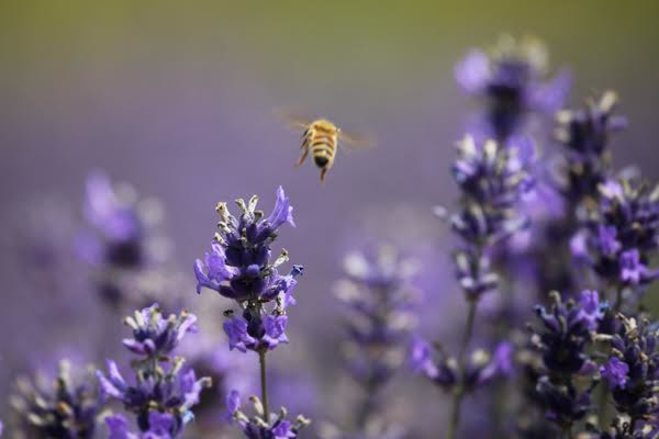 © Rob Arnold. 23/07/2014. Hampshire, UK. A bee flying from Lavender flowers in bloom on Summerdown farm estate near Malshanger in Hampshire. The lavender will be harvested and distilled into lavender oil that is a popular aromatherapy oil. The oil can be purchased from Summerdown Farms Ltd - www.summerdownmint.com Photo credit : Rob Arnold